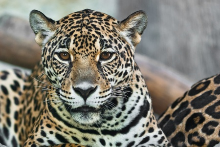 nose close up: Wild Leopard, taken on a sunny day, can be use for various wild animal concepts and print outs Stock Photo