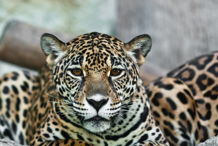 Wild Leopard, taken on a sunny day, can be use for various wild animal concepts and print outs Stock Photo