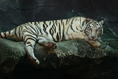 tigress: Female wild white tiger from Thailand, taken in a sunny day, can be use for related wild animal concepts and conservation print outs.