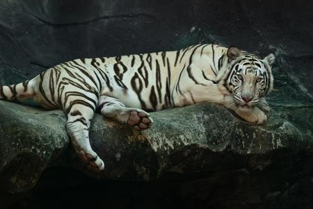 tigresa: Mujer salvaje tigre blanco de Tailandia, tomada en un día soleado, se puede utilizar para los conceptos relacionados con los animales salvajes y las salidas de conservación de impresión.