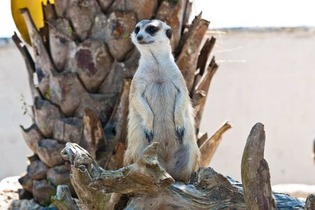 erdmaennchen: Meerkat with action, can be use for various animal related conceptual design and print outs. Taken on a sunny day. Stock Photo