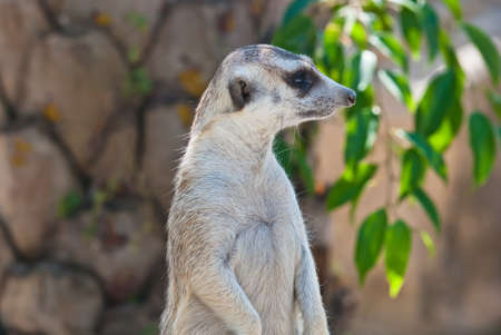 animal related: Meerkat with action, can be use for various animal related conceptual design and print outs. Taken on a sunny day. Stock Photo