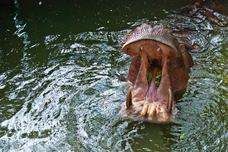 Grand hippopotame ouvrant sa bouche pour la nourriture, prise en fin d'après midi
