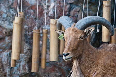 Barbary sheep, taken on a sunny afternoon, useful for various wild animal concepts design and print outs. photo