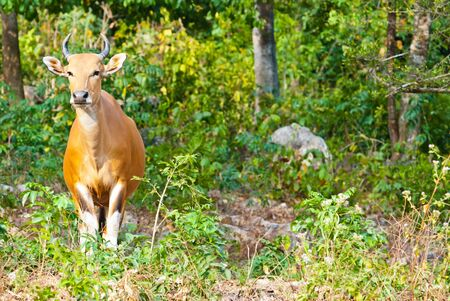 animal related: Banteng or Red Bull taken on a sunny afternoon, can be use for various wild animal related concepts and print outs.