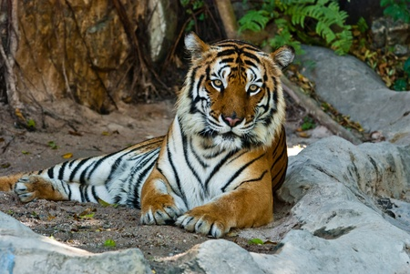 animal related: Female wild tiger from Thailand, taken in a sunny day, can be use for related wild animal concepts and conservation print outs.