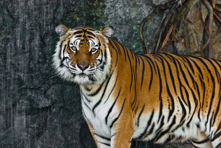 Female wild tiger from Thailand, taken in a sunny day, can be use for related wild animal concepts and conservation print outs. photo