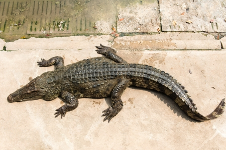 Fresh water adult crocodile from Thailand, taken on a cloudy day photo