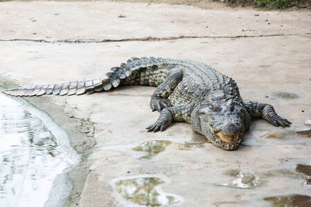 Fresh water adult crocodile from Thailand, taken on a cloudy day Stock Photo