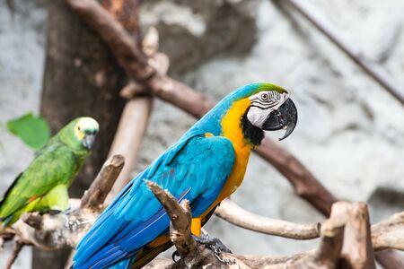 Blue and Gold macaw bird, Scientific name Ara ararauna parrot bird, taken on a indoor space photo