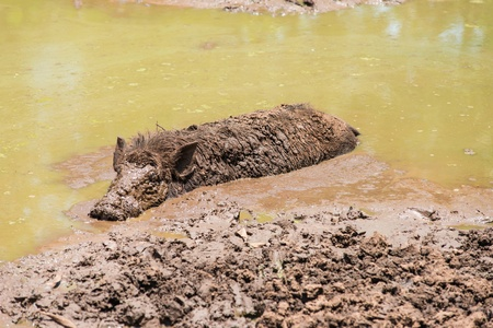 extreme heat: Large dirty black wild pig laying in the mud to cool off from extreme heat
