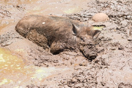 Large dirty black wild pig laying in the mud to cool off from extreme heat
