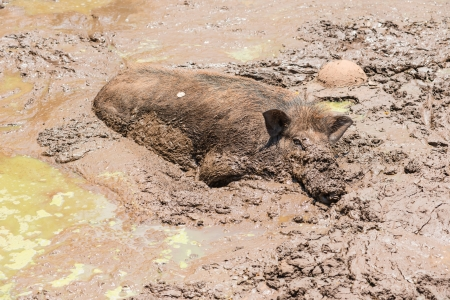 Large dirty black wild pig laying in the mud to cool off from extreme heat photo