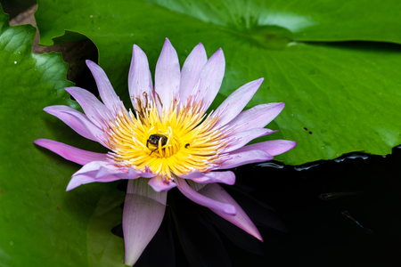 Bugs on pink lotus flower. Pink Lotus flower in a pond with many bees and bug swarming it. Stock fotó