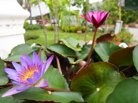 buddism: The Lotus