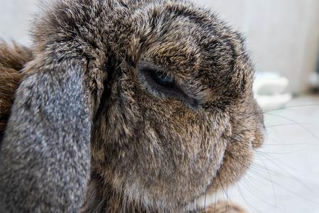 fluffy brown rabbit head photo