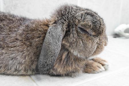Senior brown rabbit  relaxing photo