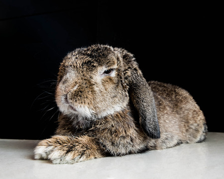 Senior smart brown rabbit photo