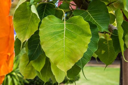 feuille arbre: Bo feuille arbre