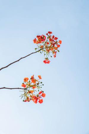flamboyant: flame tree flowers on soft blue sky Stock Photo