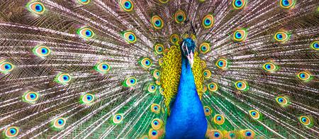 peacock Foto de archivo