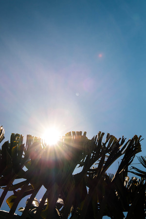 waver: Silhouette Banan tree leaves with sun flare effect
