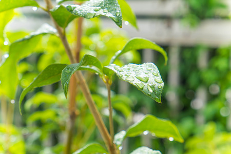 dewdrop: Dewdrop on green leaves in the morning Stock Photo