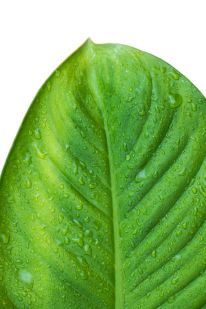 dewdrop: Close up green leaf with dewdrop, isolated on white background Stock Photo
