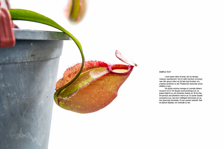 jack pot: Nepenthes Ampullaria Jack flower in pot, isolated on white background