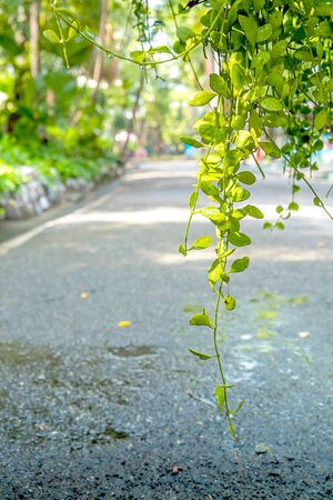plentifully: Natural climbing plants after rainy day in the morning