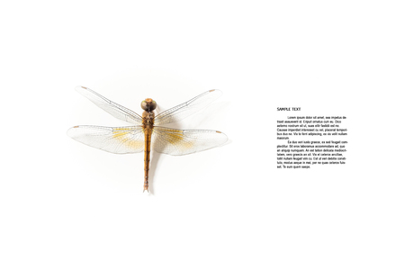 snaketail: Dragonfly on white background