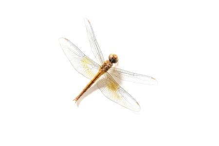 carcass: Dragonfly karkas op een witte achtergrond