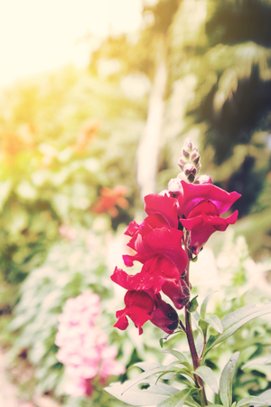 dragon vertical: Vintage tone, soft focus, with bright light, red flowers Stock Photo