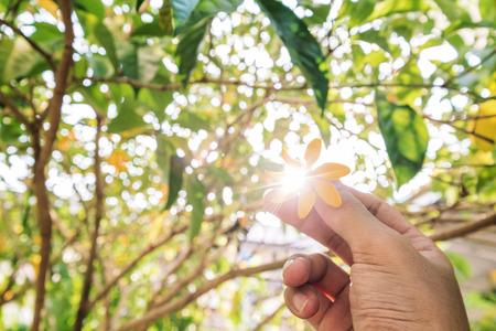 de focus: Hand holding Gardenia carinata Wallich flower with sun flare effect through flower, and de focus Bokeh background