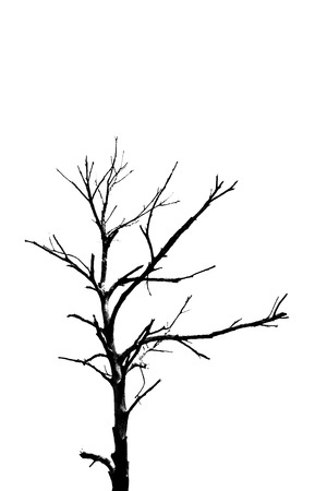 isolated tree: Silhouette, dead tree, isolated on white background