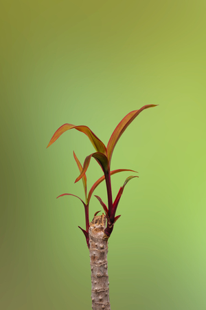 cordyline: Save Download Preview Sprout Cordyline tree , on green background Stock Photo