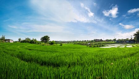 plentifully: Panorama landscape, green rice field with blue sky in the morning