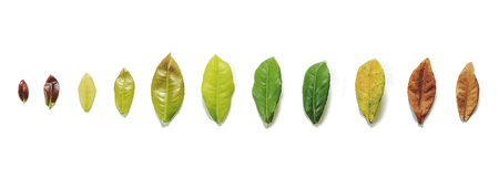 aging process: Leaves on white background, leaf aging process on white background Stock Photo