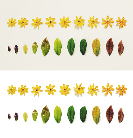aging process: Leaves and flowers on white background, aging process concepts, on white and grey background