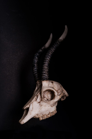 low prizes: Low key, Skull of goat on black background, side view Stock Photo