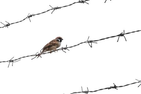 barbed wire isolated: Little sparrow bird on barbed wire, selective focus, isolated on white background