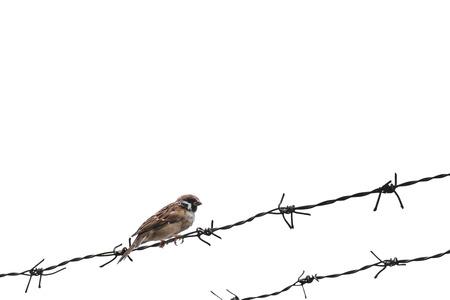 Kleiner Spatz Vogel auf Stacheldraht, selektiver Fokus, isoliert auf weißem Hintergrund Standard-Bild - 62648403