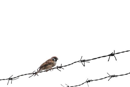 Little sparrow bird on barbed wire, selective focus, isolated on white background