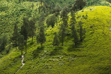 Beautiful green pine trees on Savanna hills with grass land in Indonesia