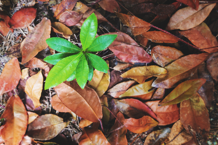 emerge: Top view, beginning growth green plants emerge from dead dried leaves, concept of new development or new life and hope, never give up from obstacle