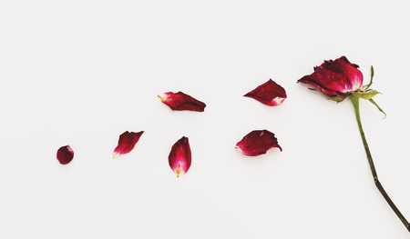 faded: Faded blowing rose flowers petals, on white background Stock Photo