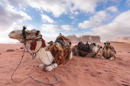 Group of camels chilling in the morning at Wadi Rum desert, Jordan, Middle-East 스톡 콘텐츠