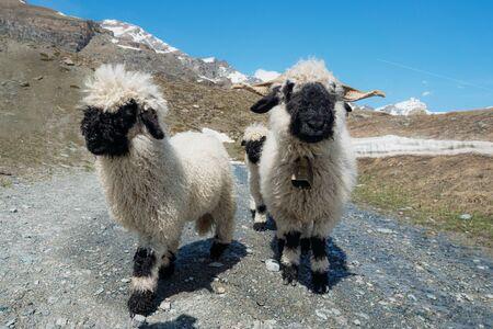 Valais Blacknose sheep on highland in Zermatt, Switzerland