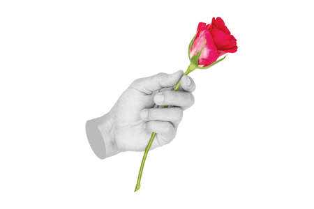 Hand holding Red rose, isolated on white background