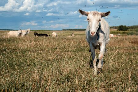 pygmy goat: A goat grazes in a meadow